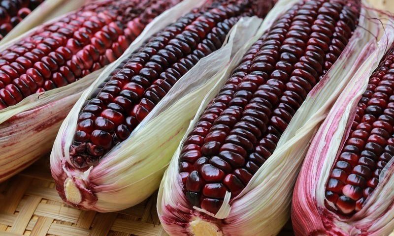 https://www.azurestandard.com/healthy-living/wp-content/uploads/2016/02/purple-corn-e1456789554757.jpg