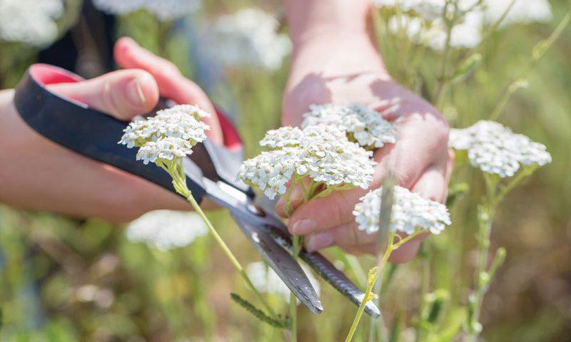 how to make yarrow tea yarrow health benefits herbal